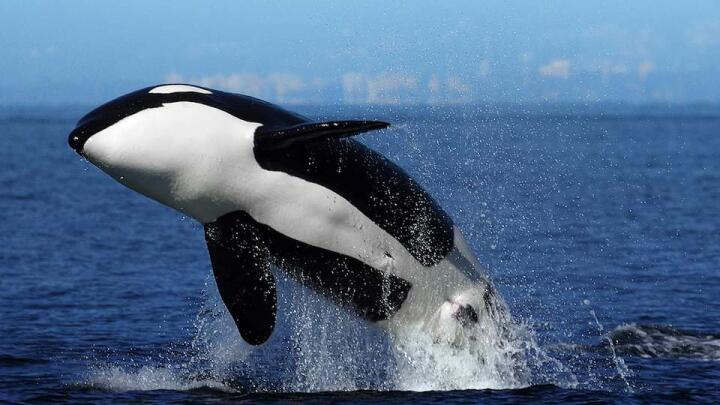 Tips on how to spot killer whales in Peninsula Valdes.
