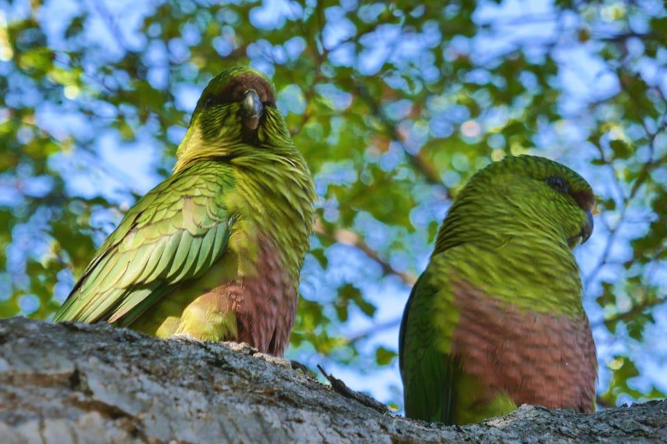 Trekking in El Chalten wildlife parakeets