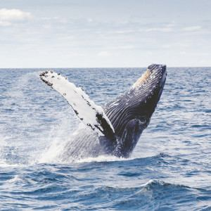 Go see the whales and killer whales in the wild at Peninsula Valdes in Patagonia.