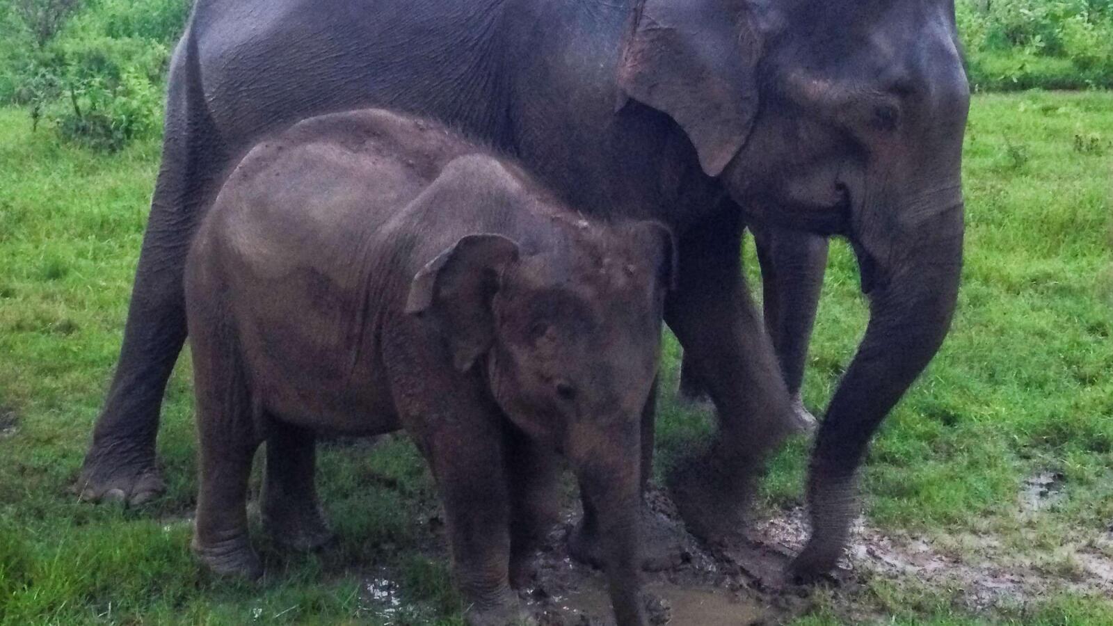 Elephant mum resting with her baby safari in sri lanka Udawalawe