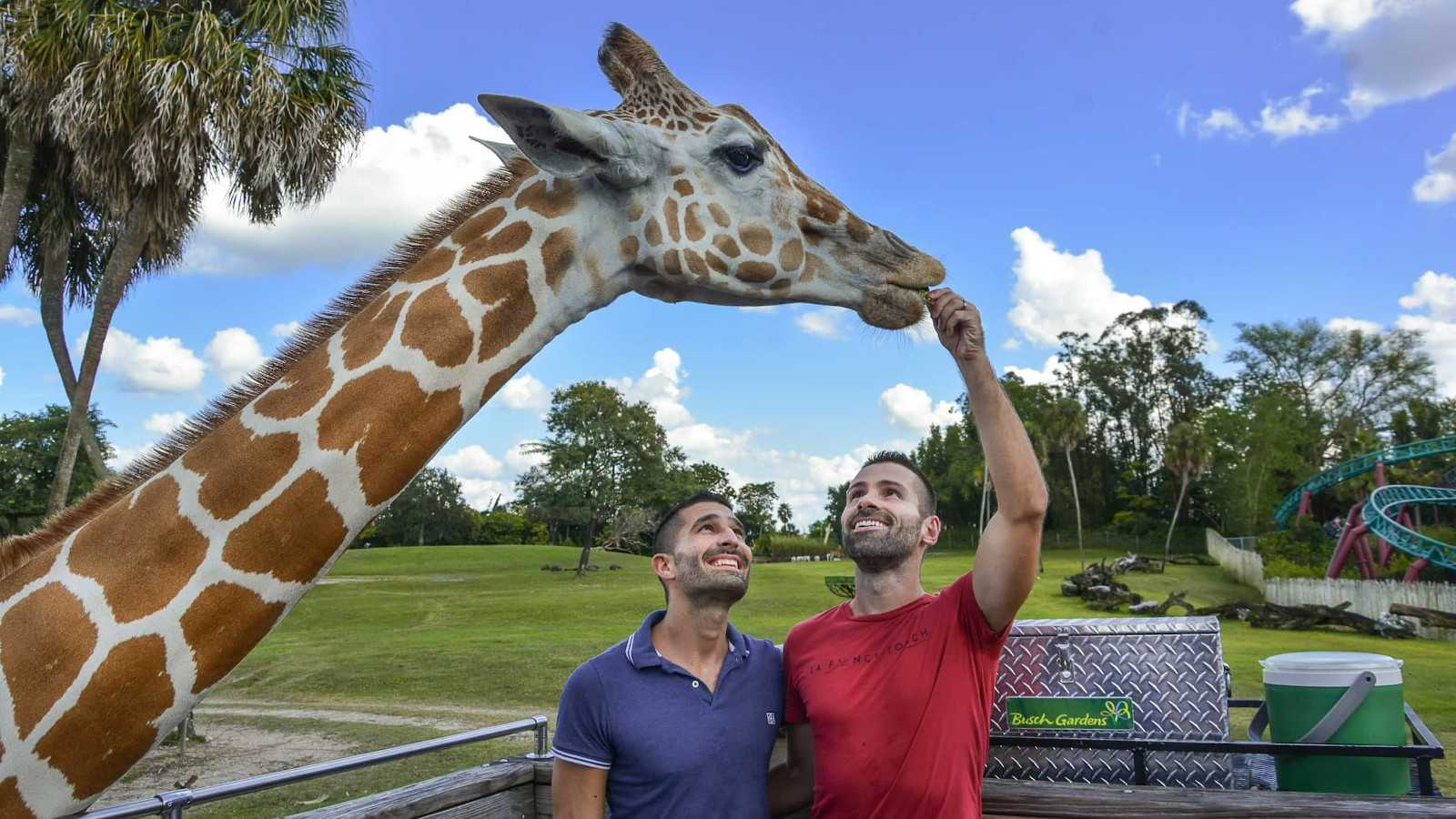 Feeding a giraffe on a safari in Busch Gardens in Tampa