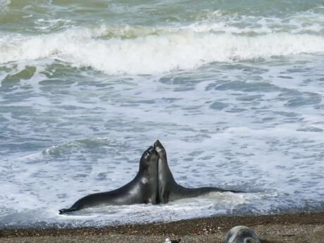 Gay guide to Puerto Madryn - elephant seals in the surf.