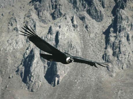 If you want to spot condors in the wild head to the Quebrada del Condorito National Park near Córdoba.