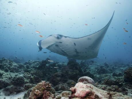 If you like snorkelling you will love having the opportunity to snorkel with Manta Rays in Bali