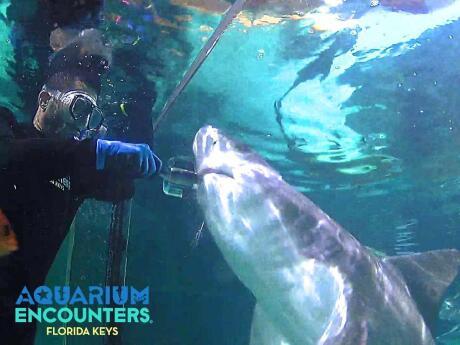 Você pode se aproximar de tubarões, arraias e outros animais marinhos no Aquário de Florida Keys
