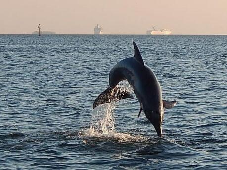Going on a cruise from Tampa will let you get up close to lots of dolphins!