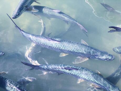 Se você for para a Marina de Robbie em Florida Keys, poderá alimentar manualmente o grande peixe prateado chamado Tarpons