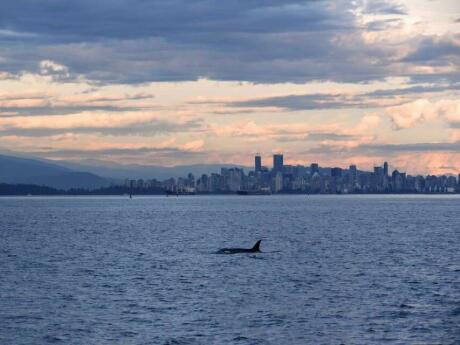Doing a whale-watching tour in Vancouver is a must, you might spot orcas or humpback whales along with sea lions or bald eagles!