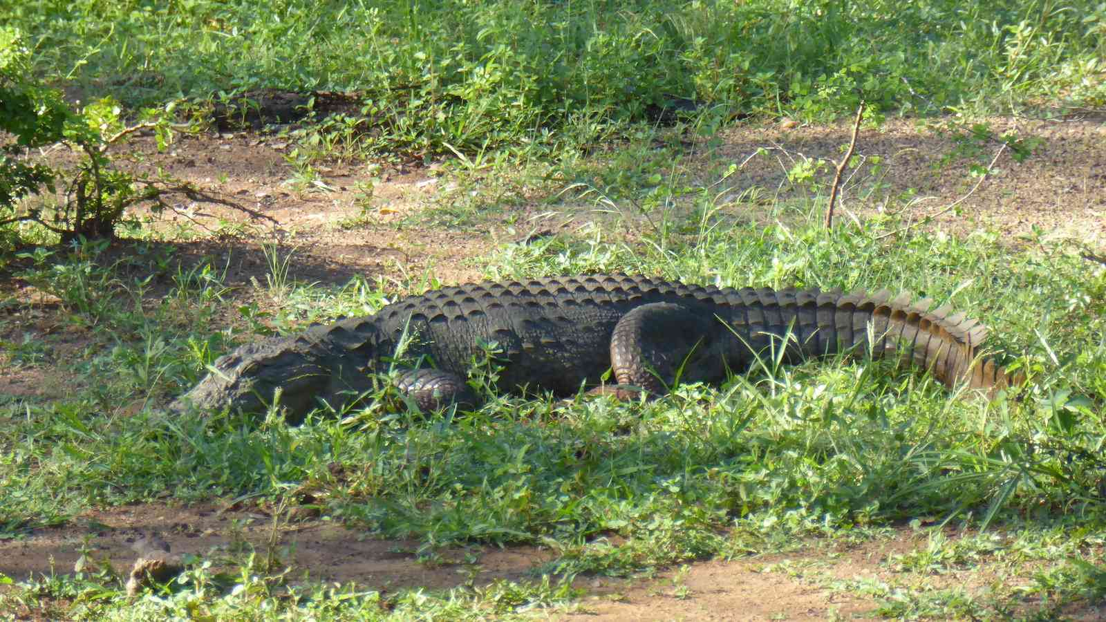 Mugger crocodiles can also be seen regularly in Udawalawe National Park