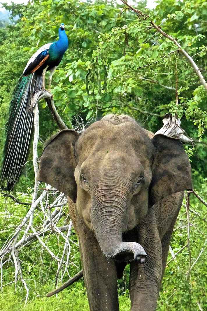 Find out everything you need to know to visit Udawalawe National Park in Sri Lanka on safari