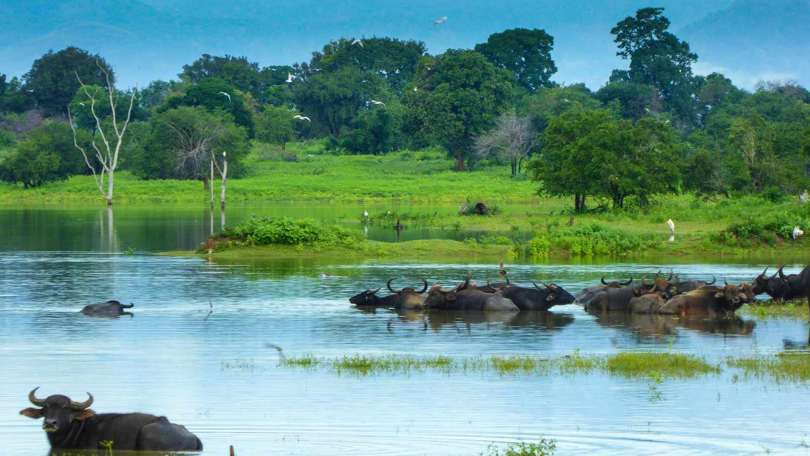 Wild water buffalos are one of the animals you will see plenty of in Udawalawe National Park