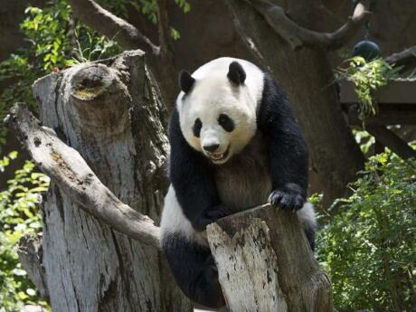 If you want to see pandas responsibly while in China, head to the Panda Sanctuary in Chengdu