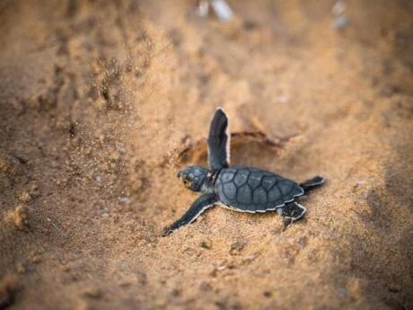 You might be lucky enough to see baby turtles hatching and making for sea while on Bocas del Toro!