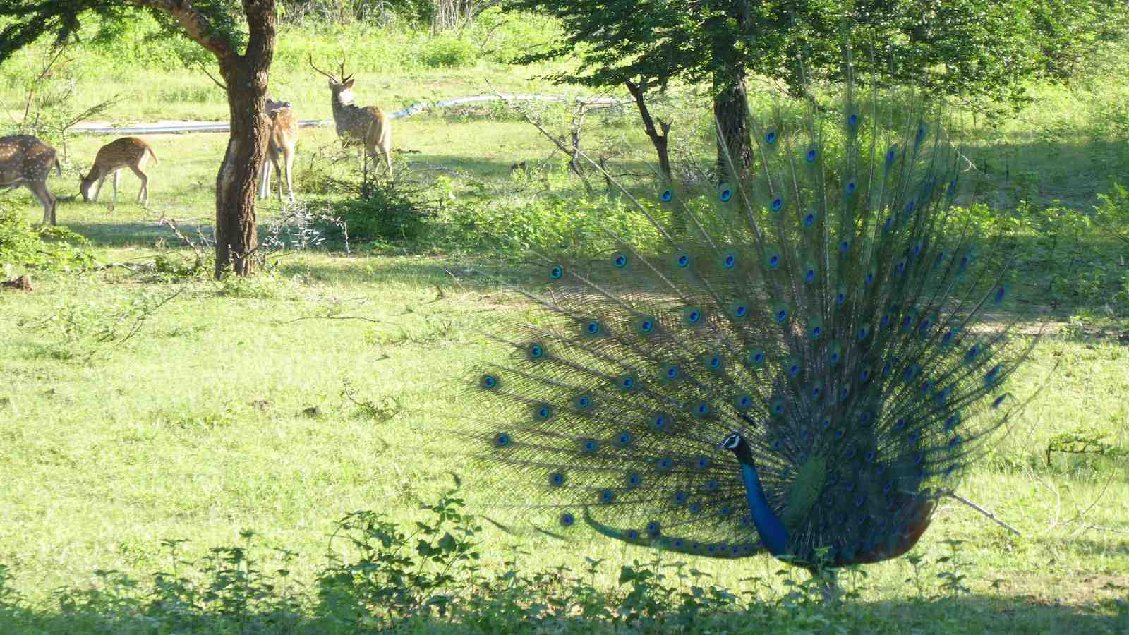 Pre-book your Udawalawe Safari to ensure you get to see all the gorgeous wildlife