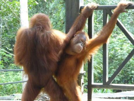 Sepilok sanctuary is an incredible place to visit in Malaysia and see orang utans