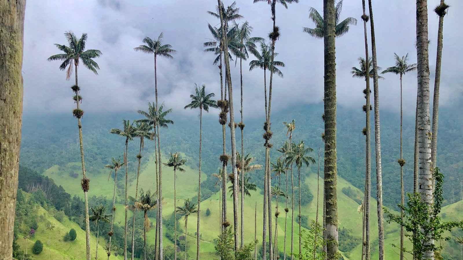 No Vale Cocora da Colômbia estão as maiores palmeiras do mundo