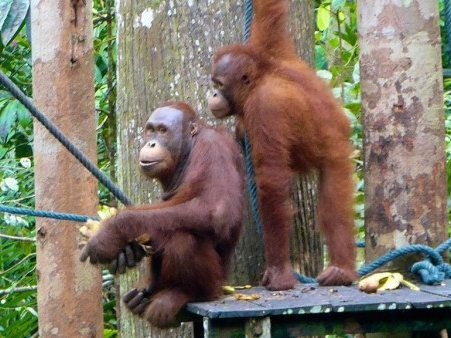 Seeing wild orangutans is one of the most incredible experiences to have in Malaysia!