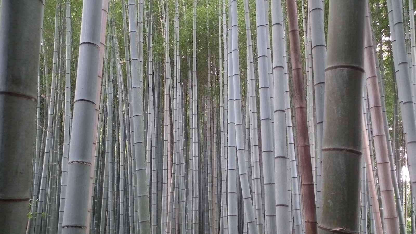 A floresta de bambu Arashiyama em Kyoto é um local muito romântico