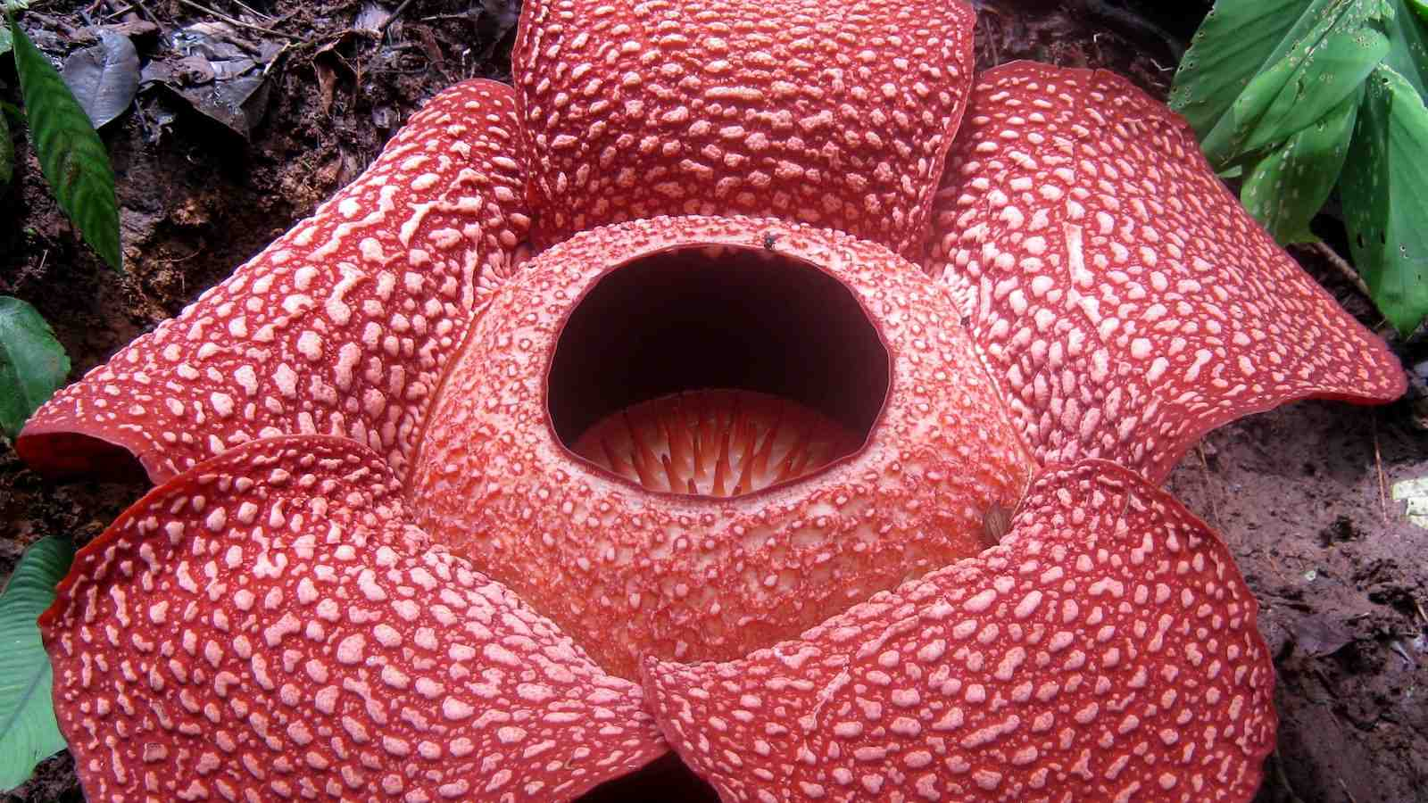 The Rafflesia arnoldii is a parasitic plant with the largest single flower in the world