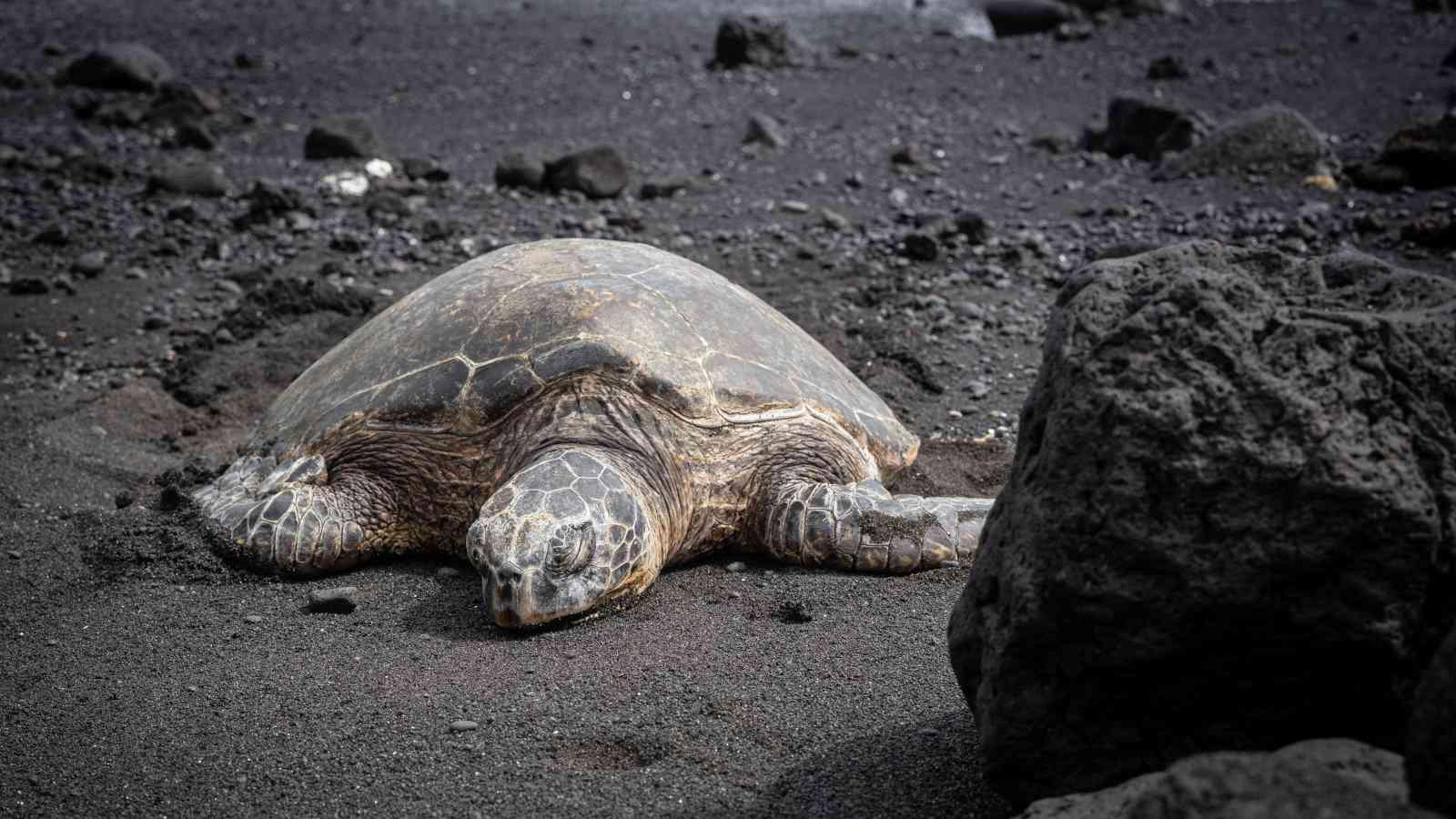 Avistar tartarugas em praias de areia preta é apenas uma coisa incrível que você pode fazer no Havaí