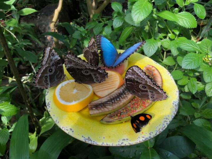 See pretty butterflies at the butterfly park when visiting the Kuang Si Falls outside of Luang Prabang